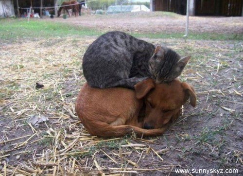 cat naps on top of dog