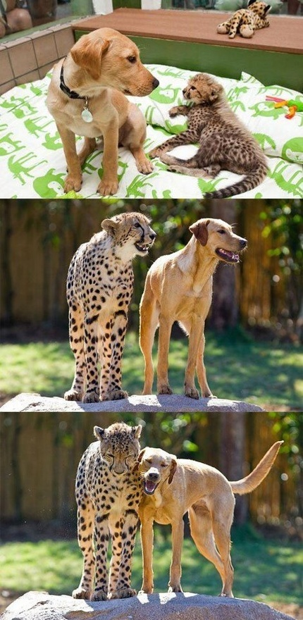 dog and cheetah best friends