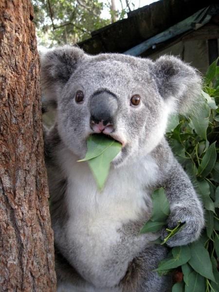surprised koala - cute animal pictures