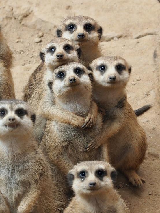 meerkat hug
