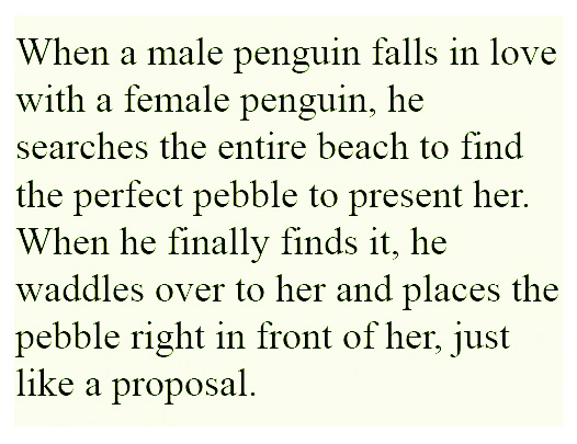 Penguin Love Quotes Impressive Emporer Penguin Love Pebble