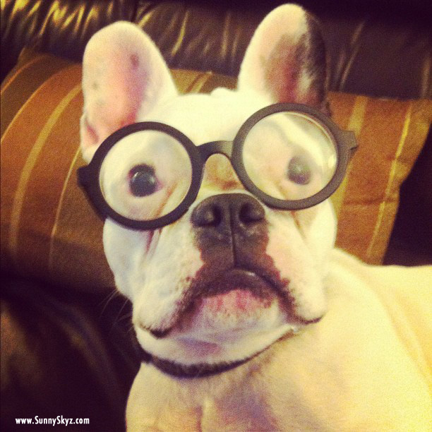 Funny French Bulldog