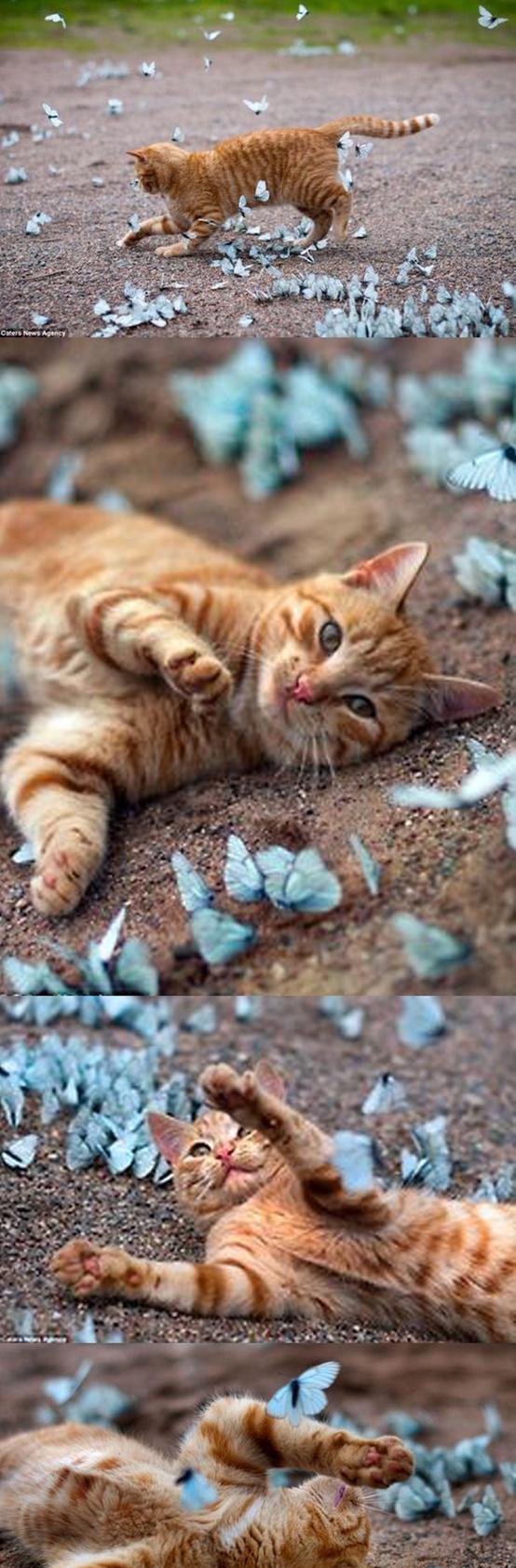 cat loves butterflies