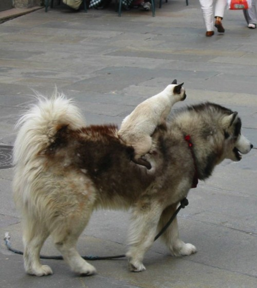 cat and dog piggy back ride
