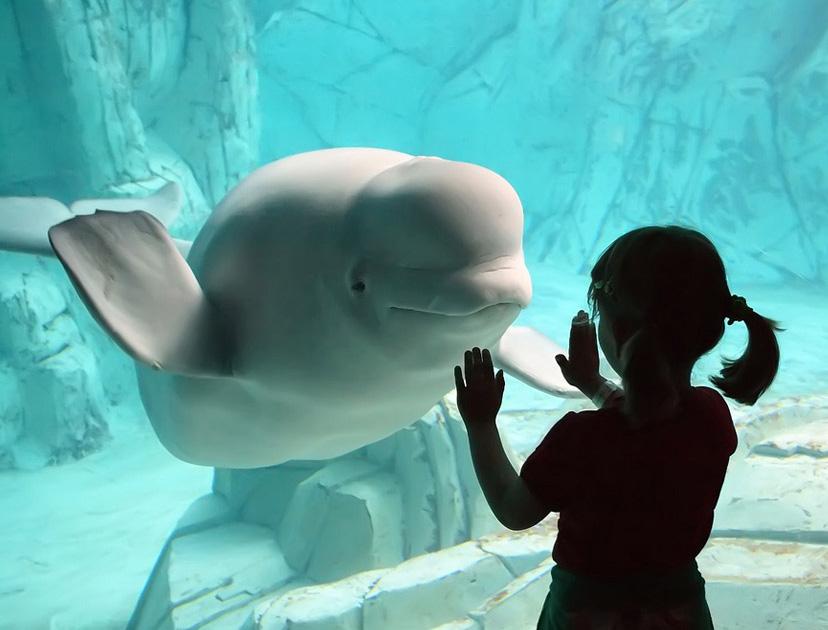beluga whale smiling at girl