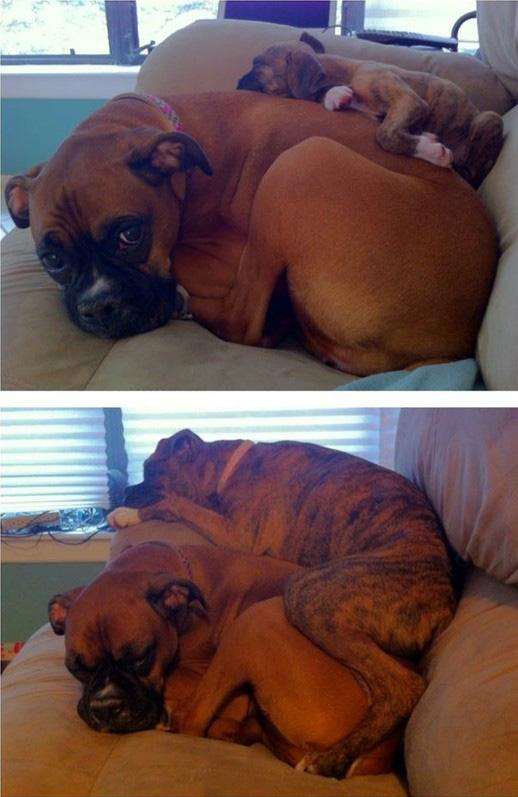 dogs snuggle