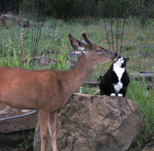 deer with cat