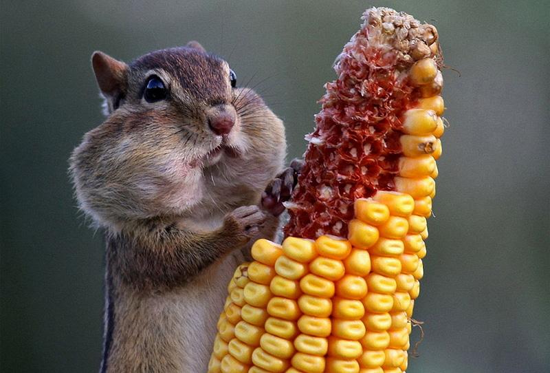 chimpunk eating corn