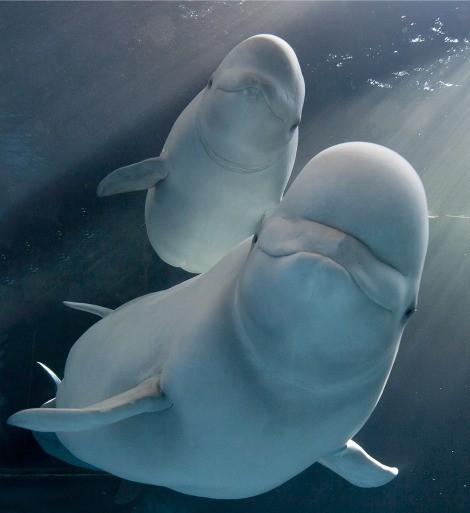 beluga whale family