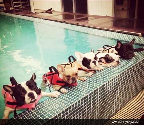 french bulldog swim lessons