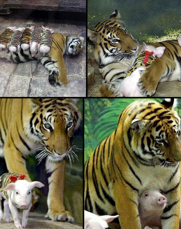 tiger and cute baby pigs