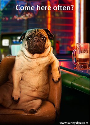 pug at the bar