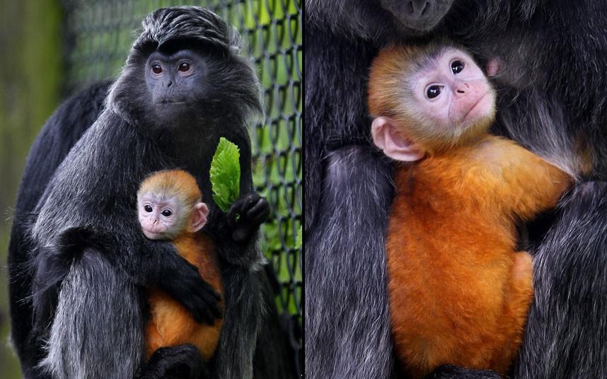 orange monkey and baby