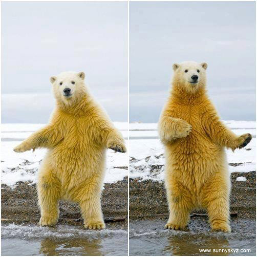 dancing polar bear