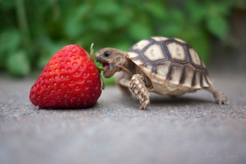 baby turtle eats fruit