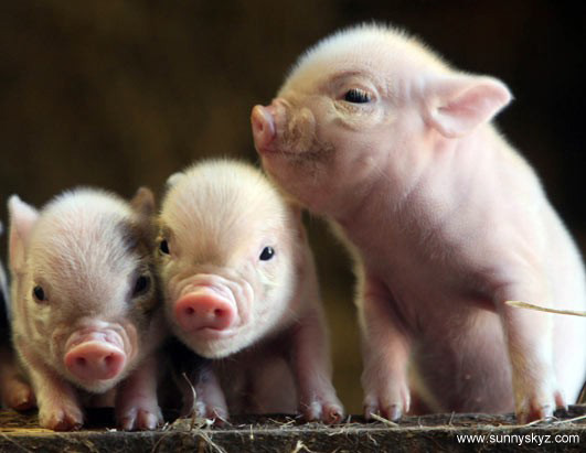 cute animal piglets