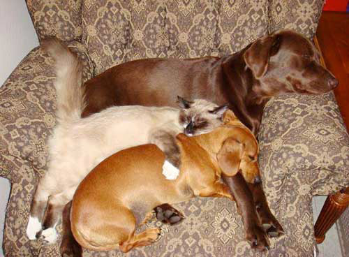 dogs and cats cuddling together