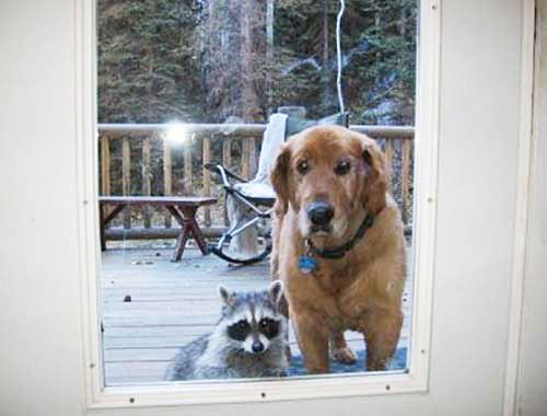 dog and raccoon lookin in door