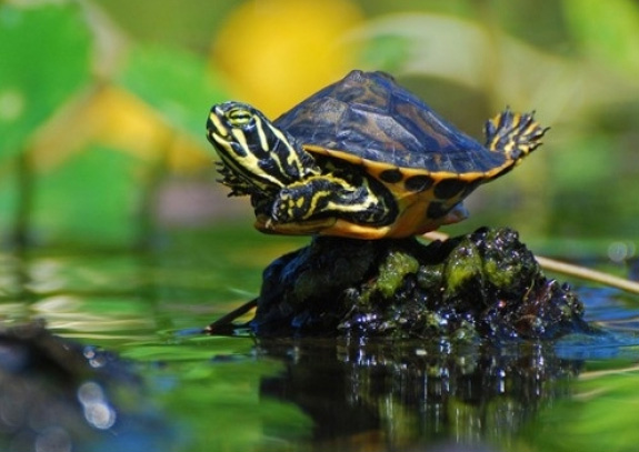 Show Me Pictures Of Painted Turtles