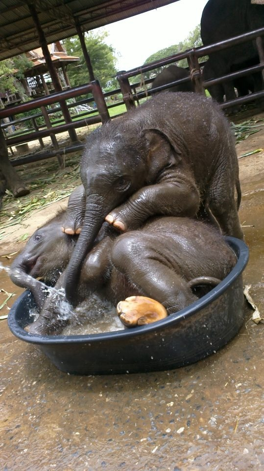 baby elephants play in water