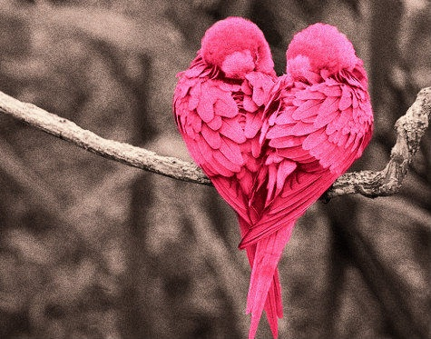 heart shaped pink lovebirds