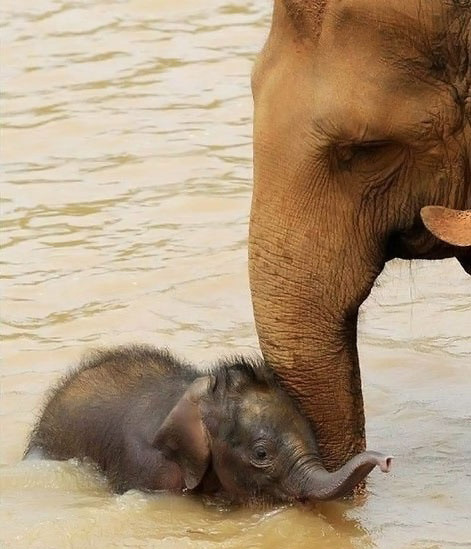Baby Elephant with Mom in the Water