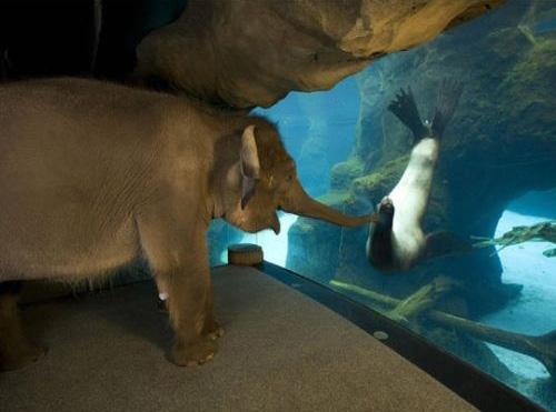elephant enjoys watching sea lions