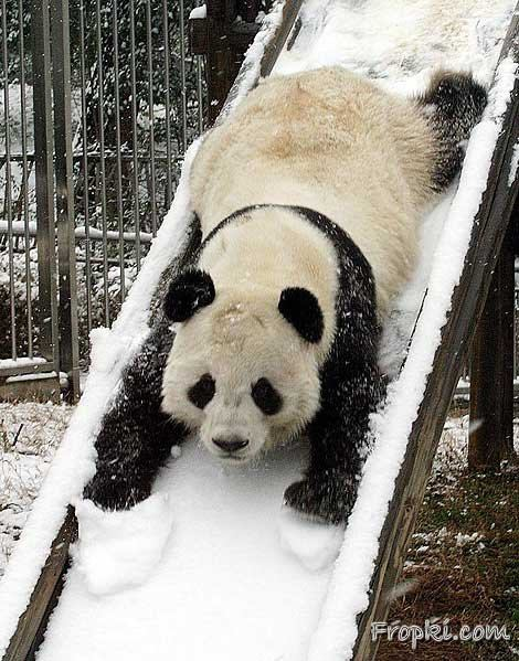 panda bear slide