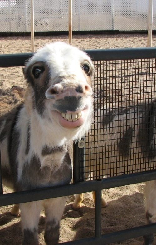 funny goat smile