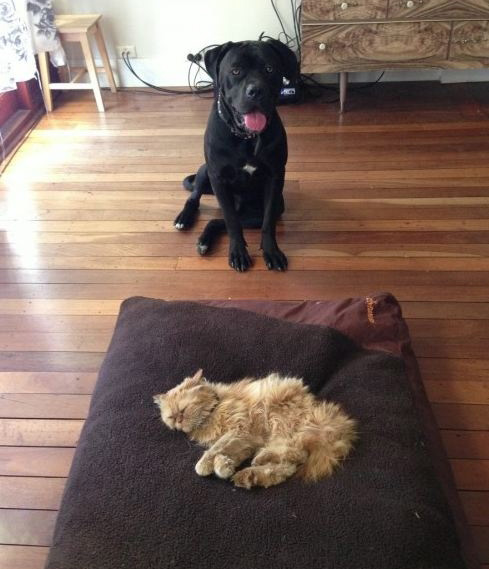 cat steals dog bed