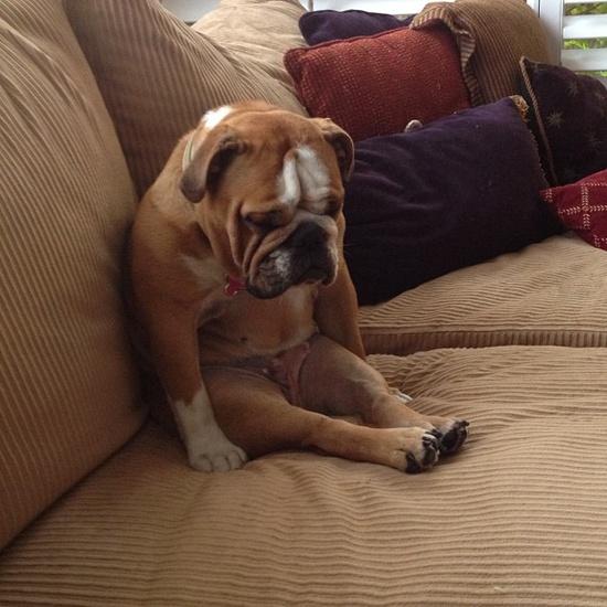 bulldog nap
