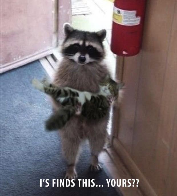 raccoon finds kitten