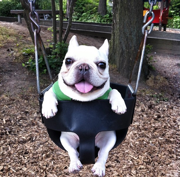 french bulldog swing