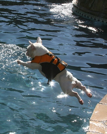 french bulldog dive