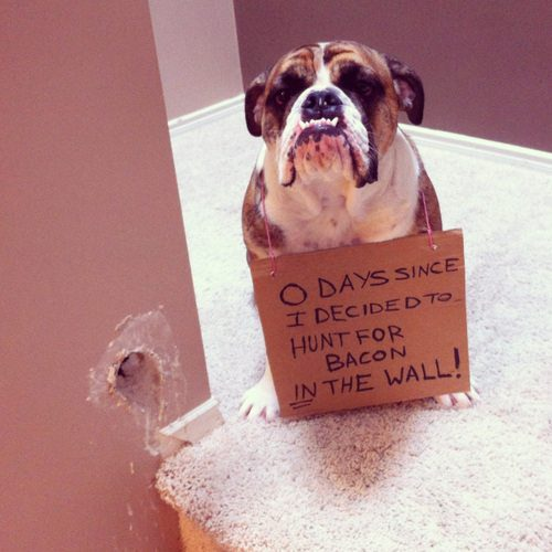 funny bulldog pictures