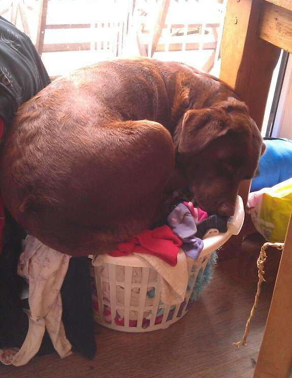 dog on laundry