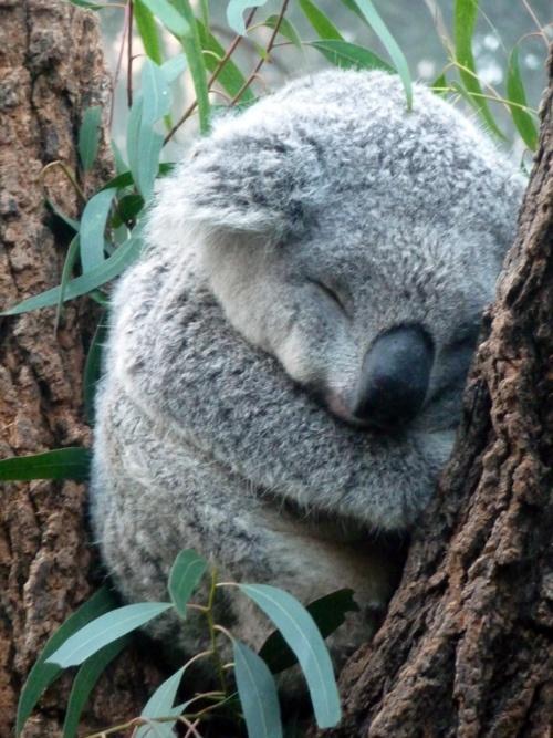 Baby koala sleeping - Pictures of koalas and baby koalas ...