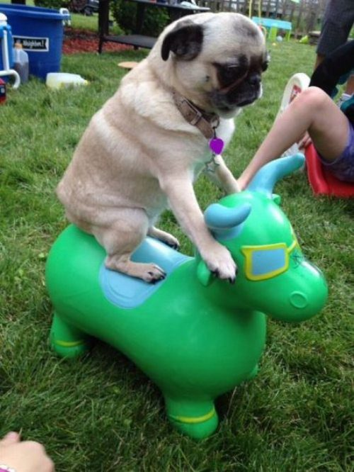 funny dogs pug