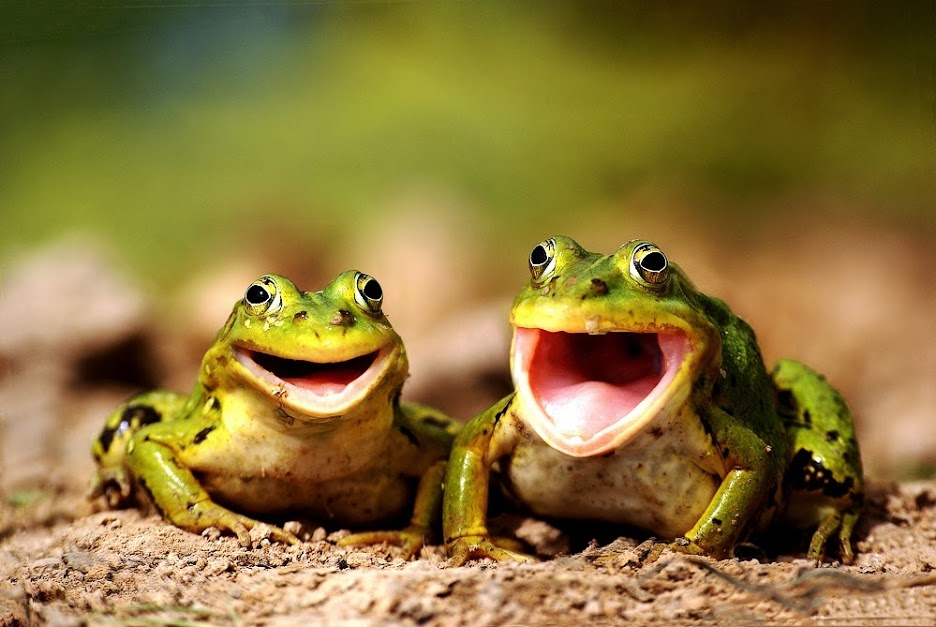 smiling frogs