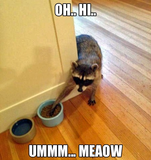 raccoon stealing the cat food