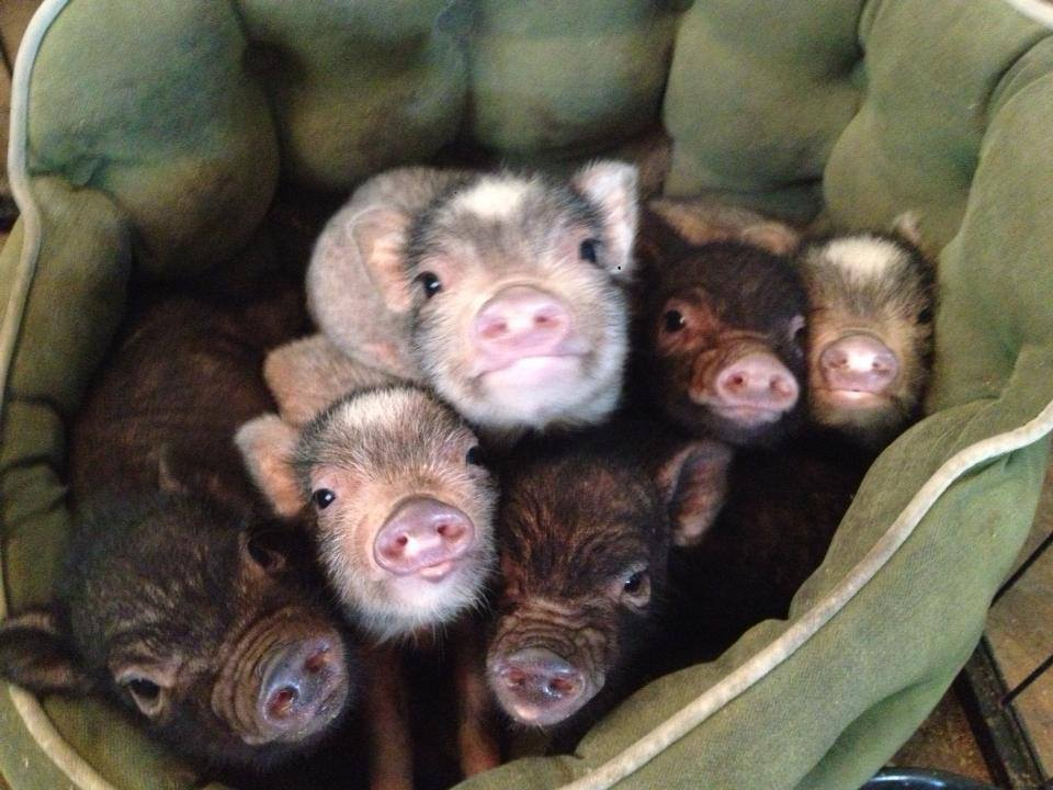 baby pigs in a bed