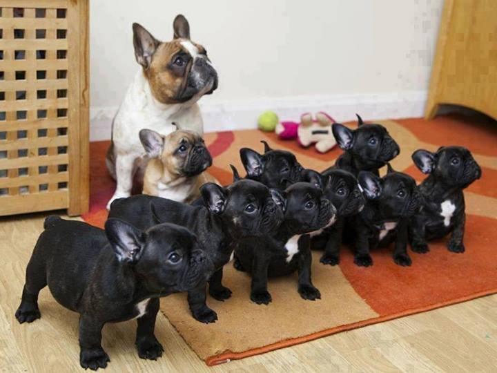 french bulldog army