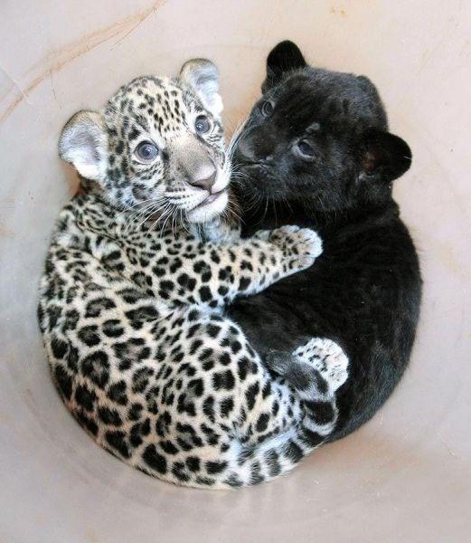 baby panther baby jaguar