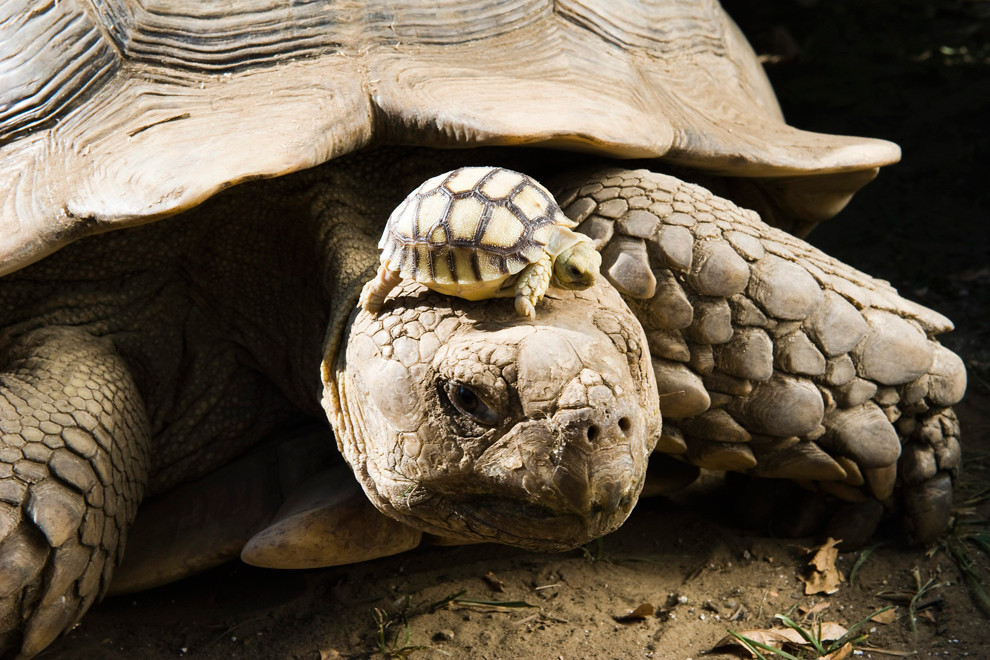 baby and mother tortoise