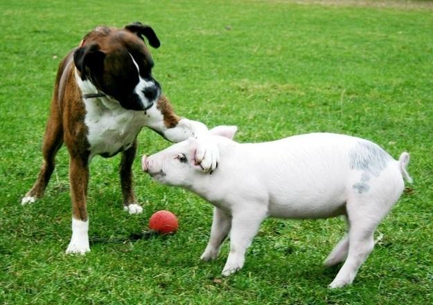 boxer pig playing