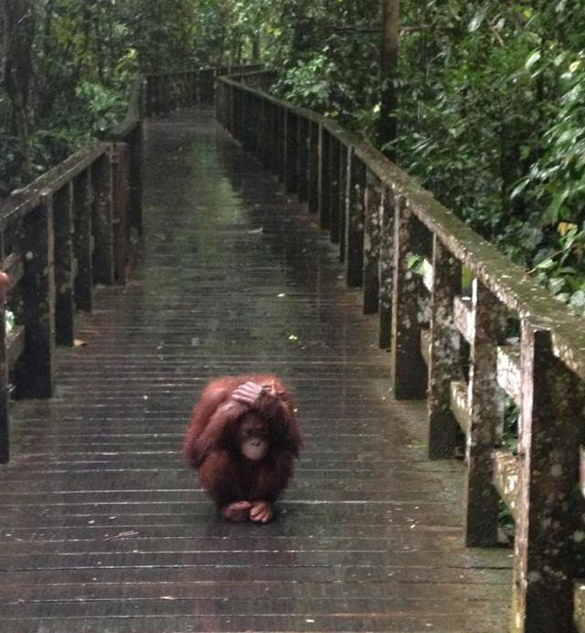 orangutan hates the rain