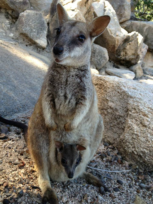 kangaroo with baby