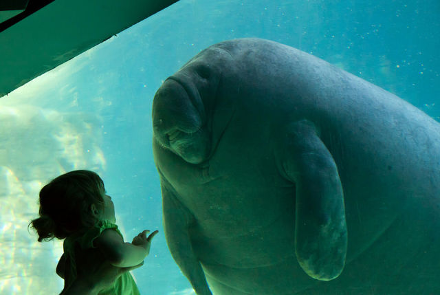 manatee meets little girl
