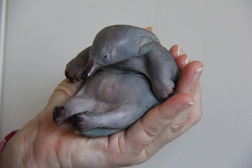Image result for baby echidna