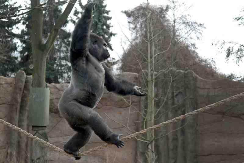 ape tight rope